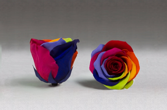 <h4>Rose stab. XXL rainbow</h4>
