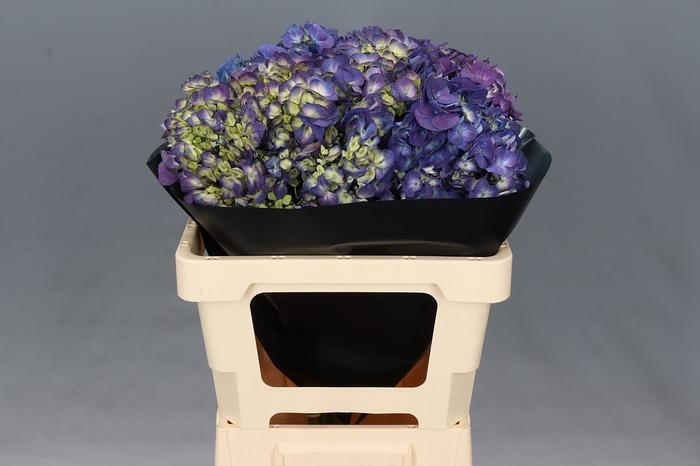 <h4>Hydrangea Purple Select</h4>