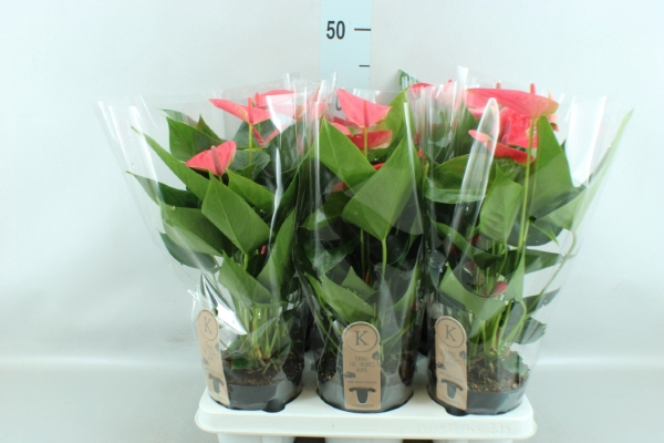 <h4>Anthurium andr. 'Sweet Dream'</h4>