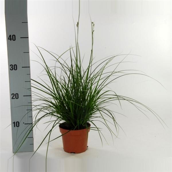 <h4>Carex brunnea (groen) p12</h4>