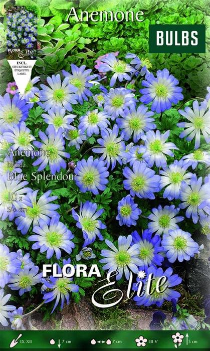 Z Anemone Blue Splendour