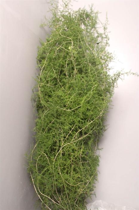 <h4>Asparagus Falc Wild It</h4>