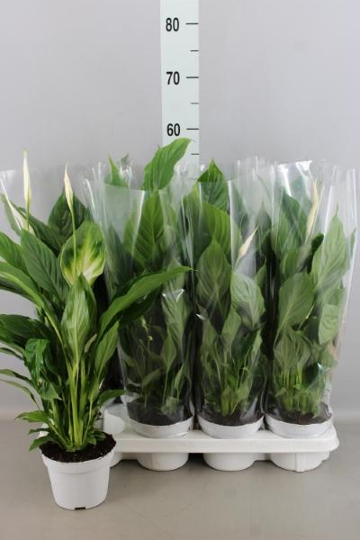 <h4>Spathiphyllum  'Strauss'</h4>