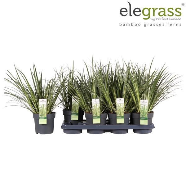 <h4>Acorus gramineus argenteostriatus - Elegrass</h4>