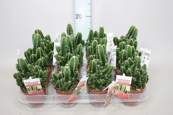 <h4>Cereus per. 'Florida'</h4>