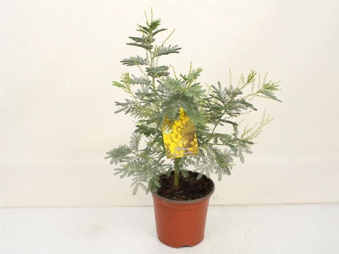 <h4>Acacia Mimosa Silver Bush</h4>
