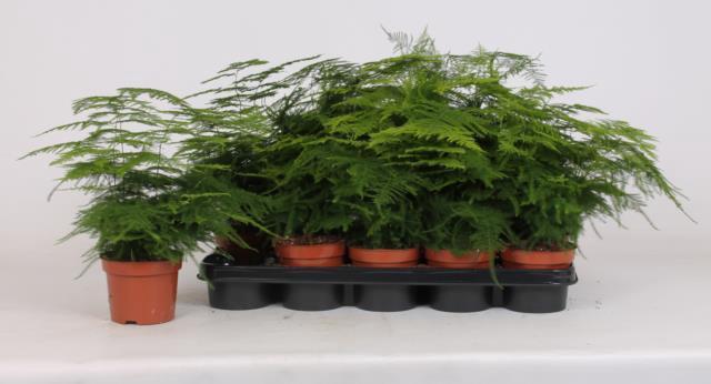 <h4>Asparagus Setaceus 12Ø 35cm</h4>