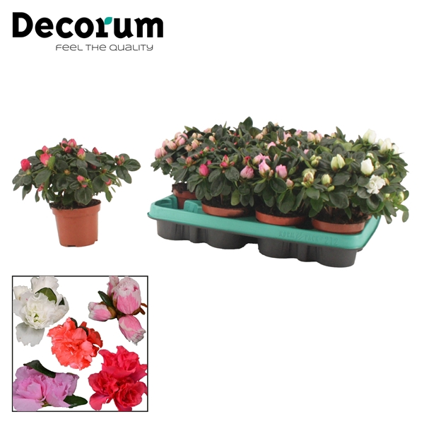 <h4>Azalea 9 cm MIX 3 srt Decorum</h4>