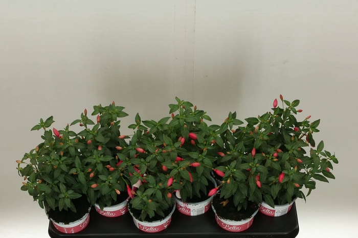 <h4>Fuchsia Bel F Ov</h4>