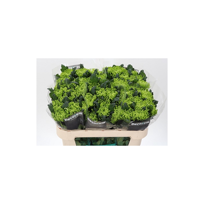 <h4>Chr G Anast D Green</h4>