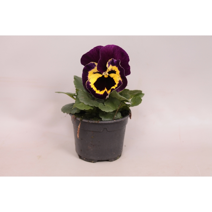 <h4>Viola wittrockiana F1 Yellow with purple wing</h4>