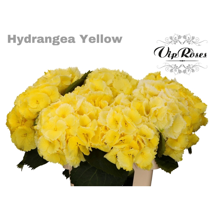 <h4>HYDR M SUNNY YELLOW 60 cm</h4>