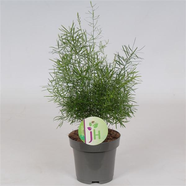<h4>Asparagus Sprengeri</h4>