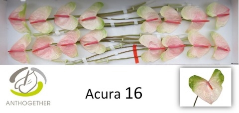 <h4>Anthurium andr. 'Acura'</h4>