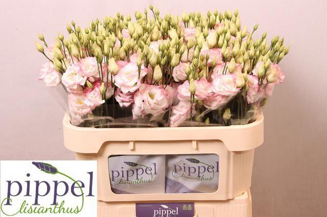 <h4>Eustoma Croma Bridal Kiss</h4>