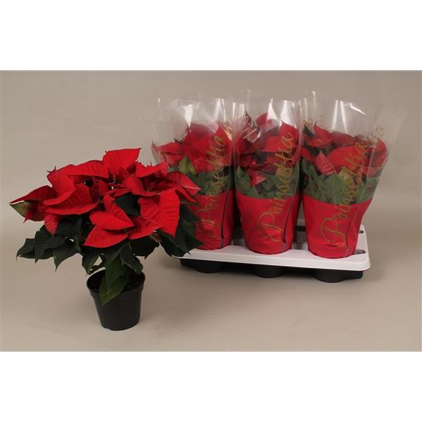 <h4>Poinsettia ''christmas eve''</h4>
