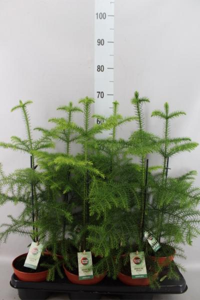<h4>Araucaria heterophylla</h4>