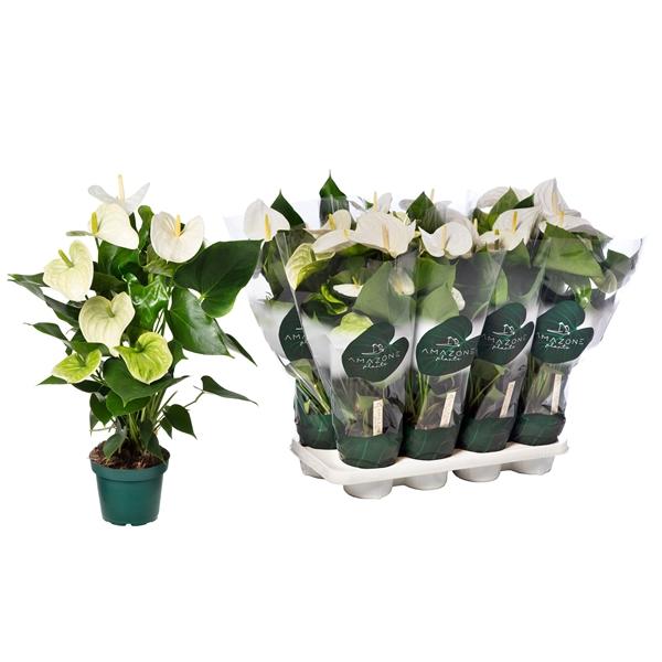 <h4>Anthurium Samora 14cm</h4>