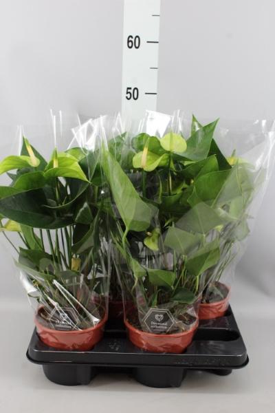<h4>Anthurium  'Pr. Alexia Jade'</h4>
