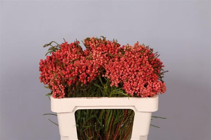 <h4>Berzelia Lanuginosa Red</h4>