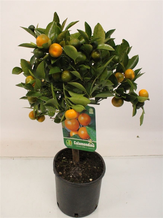 <h4>Citrus Calamondin Stem</h4>
