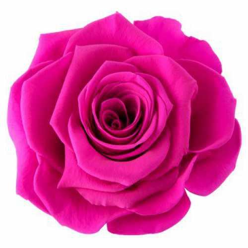 <h4>Rose Ines Hot Pink</h4>