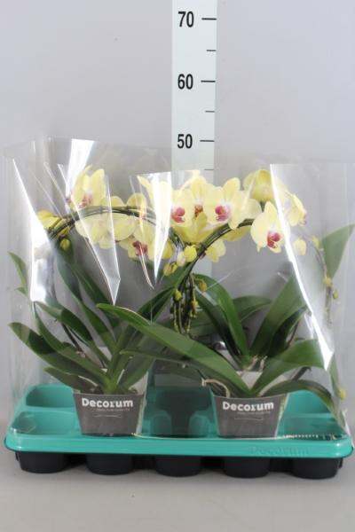 <h4>Phalaenopsis   ...yellow</h4>