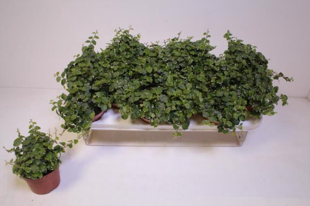<h4>Ficus Pumila White Sunny 10,5Ø 15cm</h4>