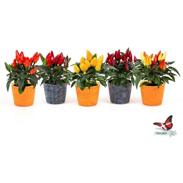<h4>plantmix bloeiend</h4>