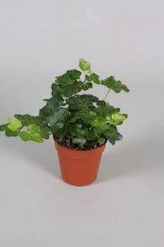 Hedera helix Tres Coupe