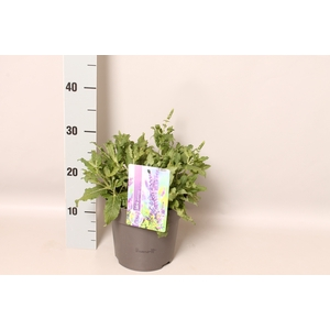 vaste planten 19 cm  Salvia nemorosa Schwellenburg