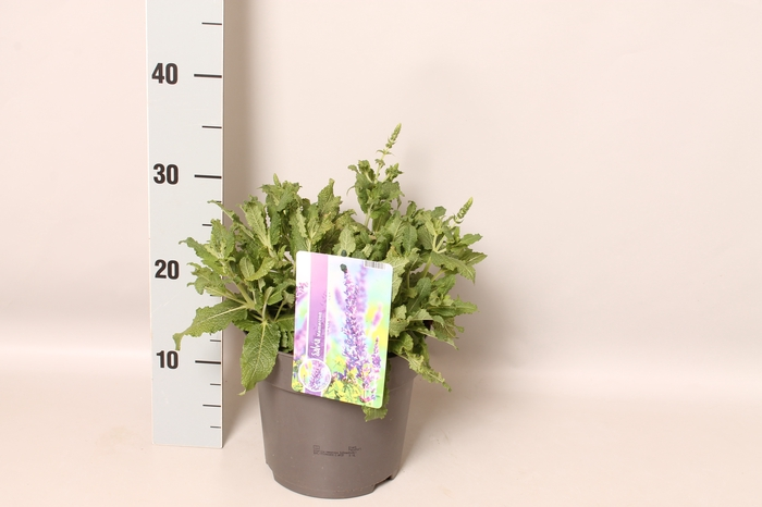 <h4>vaste planten 19 cm  Salvia nemorosa Schwellenburg</h4>