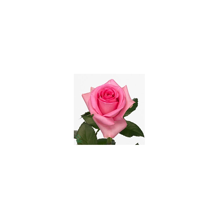 <h4>Rosa Gr. Revival</h4>