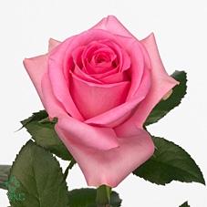 Rosa Gr. Revival