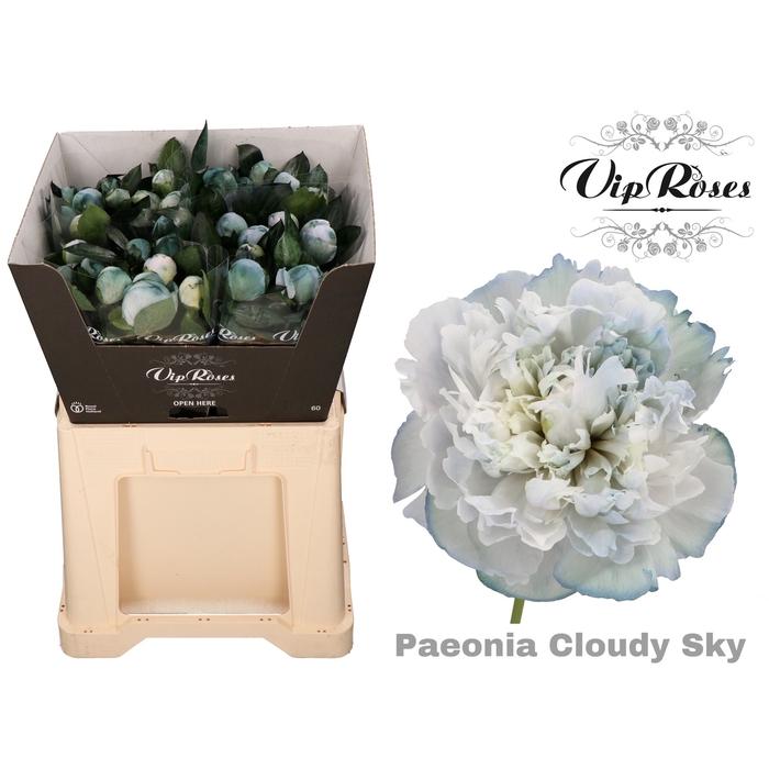 <h4>PAEONIA CLOUDY SKY</h4>