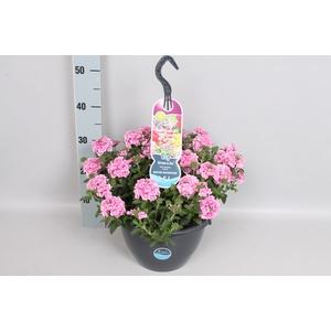 Hangpotten 27 waterreservoir Verbena Pink Romance
