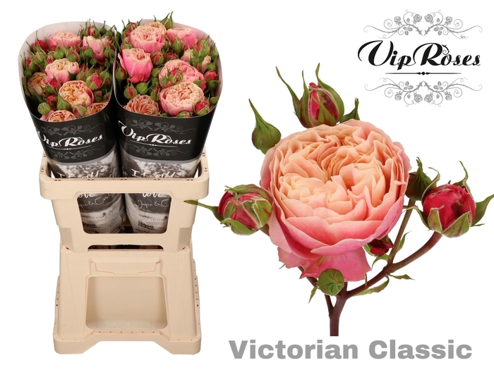 <h4>R TR VICTOR CLASSIC@</h4>