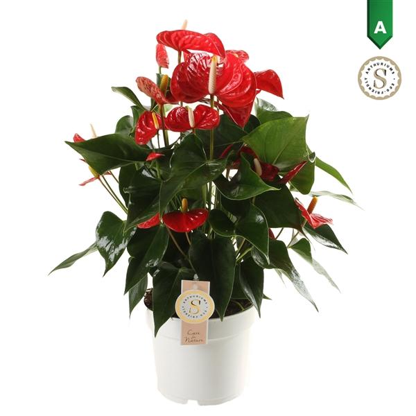<h4>Anthurium Andr.Royal Champion</h4>