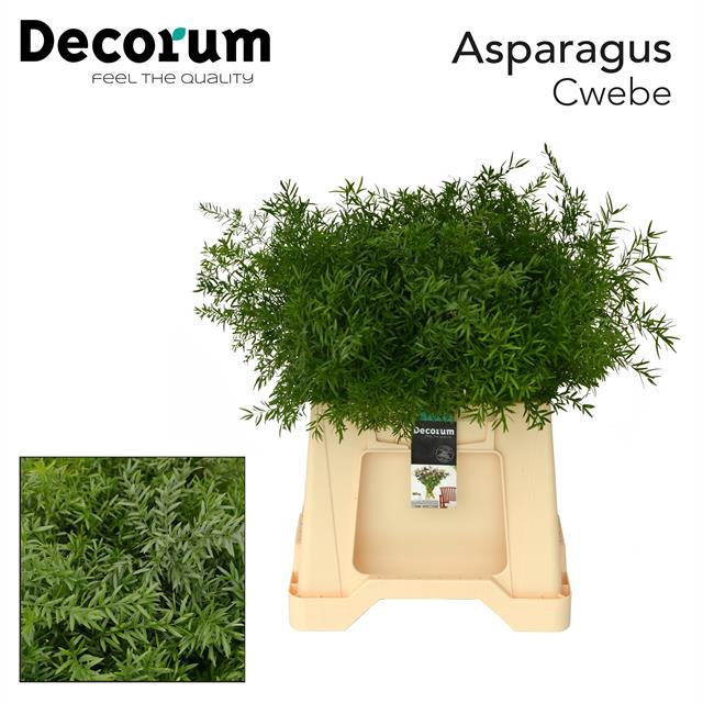<h4>ASPARAGUS cwebe 40cm dc</h4>