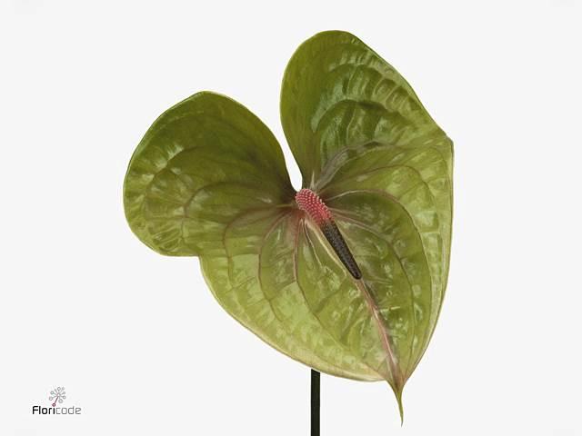 <h4>Anthurium A Pistache</h4>