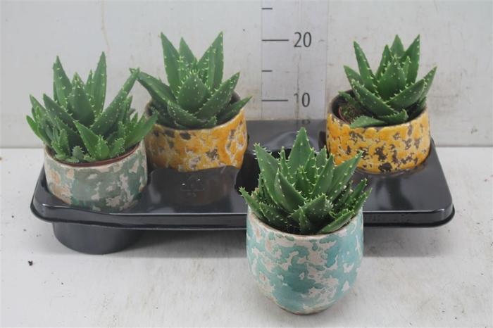 <h4>Aloe Mitriformis Luuk Keramiek</h4>