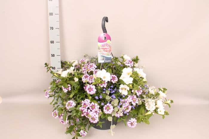 <h4>Hangpot 37 cm met waterreservoir mix scaevola, verbena, helichrysum, petunia, lobelia</h4>