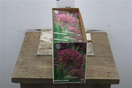 <h4>Bulb Allium Millenium X2</h4>