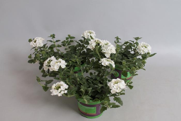 <h4>Verbena Venturi White</h4>