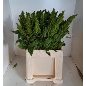 AMAR GREEN THUMB