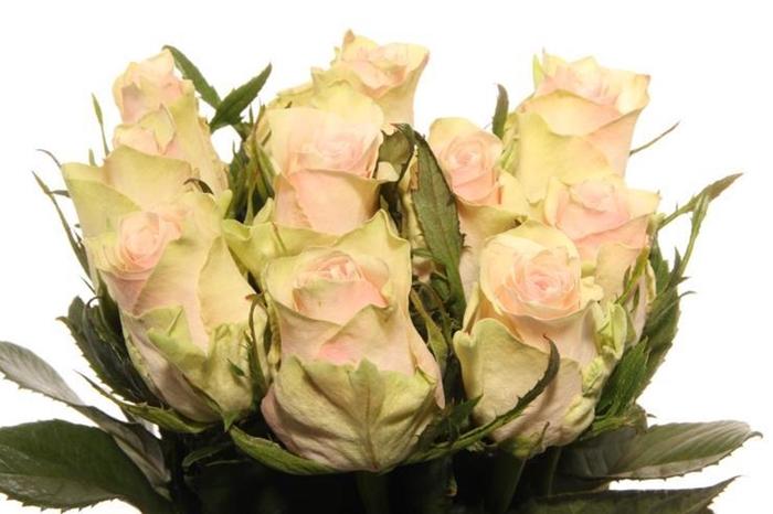 <h4>R Gr Pink Athena Extra</h4>