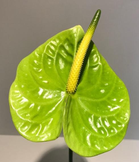 <h4>Anthurium Midori Green Medium</h4>