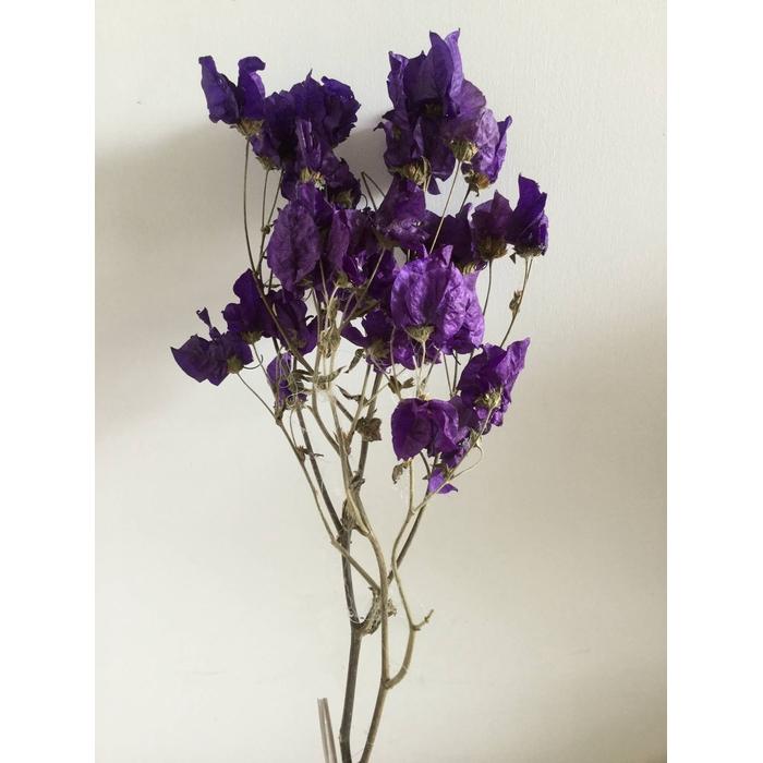 <h4>DRIED FLOWERS - BOUGAINVILLEA BIG PAARS 55CM</h4>