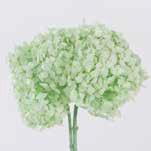 <h4>Hydrangea / Hortensia Mint Green HRT/0160</h4>