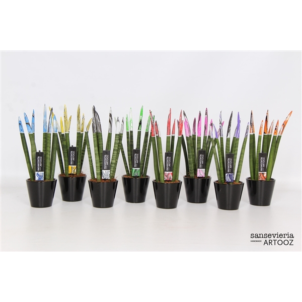 <h4>Sansevieria cylindrica 'Spaghetti 'ARTOOZ' MIX met keramiek zwart</h4>